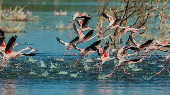 Lake Bogoria National Park「Lesser flamingos running to fly off」:スマホ壁紙(0)