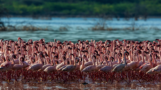 Lake Bogoria National Park「Lesser flamingos flock at Lake Bogoria」:スマホ壁紙(18)