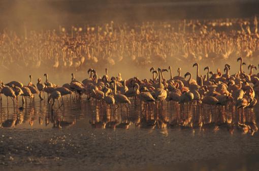Lake Bogoria「lesser flamingos」:スマホ壁紙(15)
