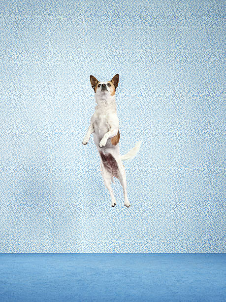Dog (Canis lupus familiaris) jumping.:スマホ壁紙(壁紙.com)