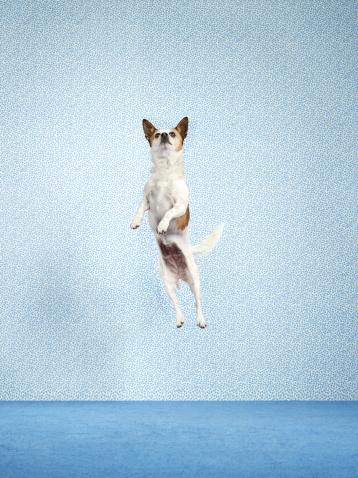 Mid-Air「Dog (Canis lupus familiaris) jumping.」:スマホ壁紙(3)