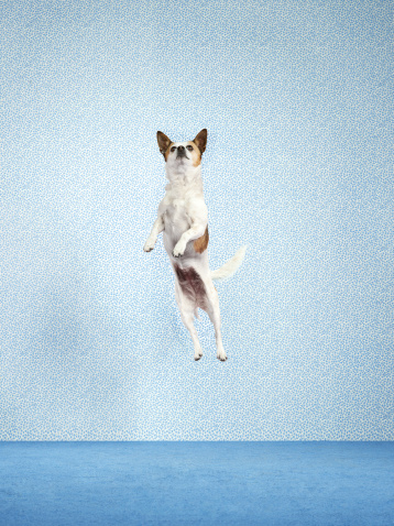 Jumping「Dog (Canis lupus familiaris) jumping.」:スマホ壁紙(8)