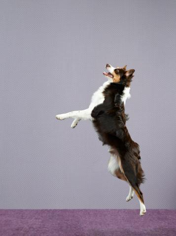Carefree「Dog (Canis lupis familiaris) jumping」:スマホ壁紙(4)