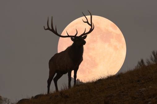 月「Majestic Bull Elk and Full Moon Rise (composite)」:スマホ壁紙(17)