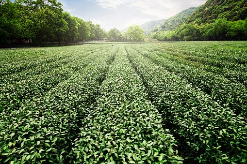 East Asian Culture「China's tea garden」:スマホ壁紙(7)