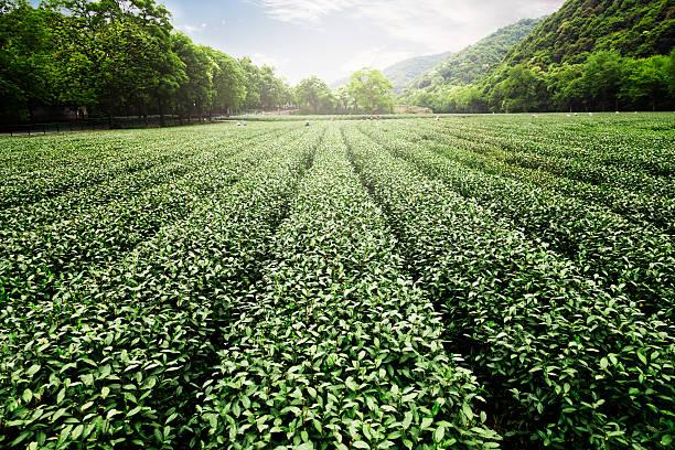 China's tea garden:スマホ壁紙(壁紙.com)