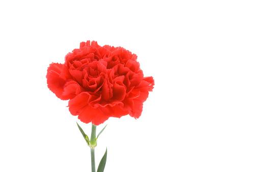 カーネーション「Carnation」:スマホ壁紙(16)
