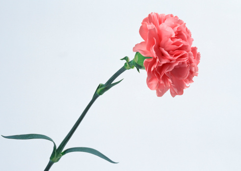 カーネーション「Carnation」:スマホ壁紙(10)