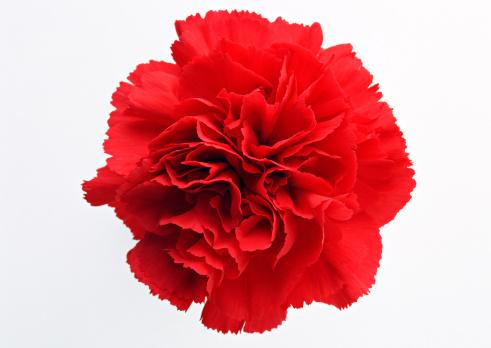 カーネーション「Carnation」:スマホ壁紙(15)