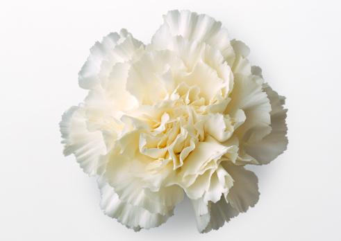 カーネーション「Carnation」:スマホ壁紙(0)