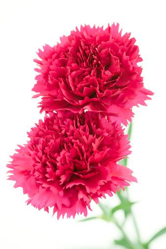 カーネーション「Carnation」:スマホ壁紙(11)