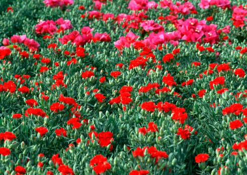 カーネーション「Carnation」:スマホ壁紙(5)