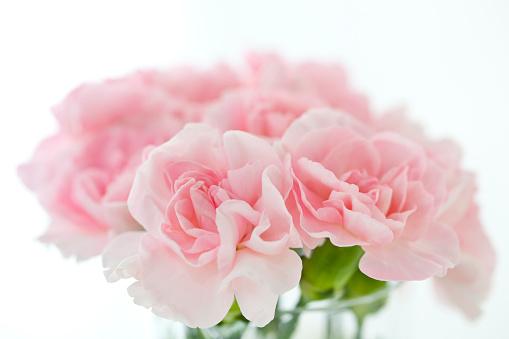 カーネーション「Carnation」:スマホ壁紙(6)