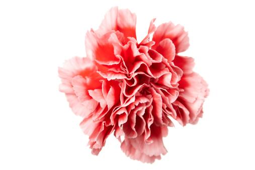 flower「Carnation」:スマホ壁紙(8)