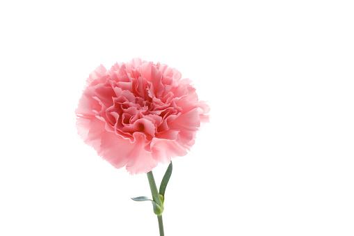 カーネーション「Carnation」:スマホ壁紙(9)
