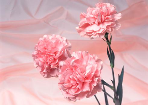 カーネーション「Carnation」:スマホ壁紙(14)