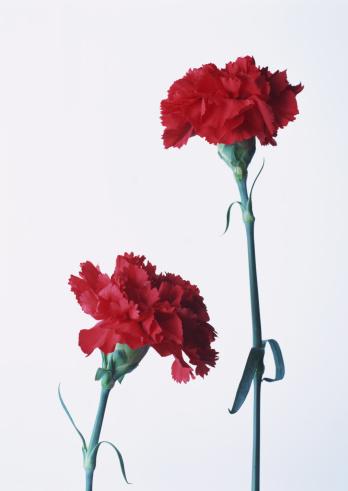 Annual Event「Carnation」:スマホ壁紙(19)
