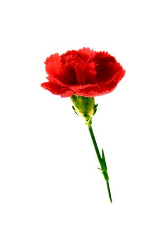 カーネーション「Carnation」:スマホ壁紙(1)