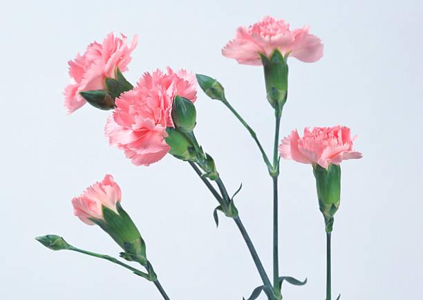 Carnation:スマホ壁紙(壁紙.com)