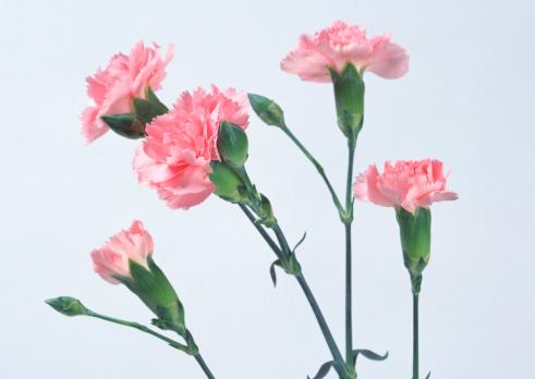 カーネーション「Carnation」:スマホ壁紙(7)