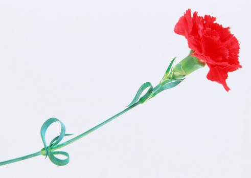 カーネーション「Carnation」:スマホ壁紙(3)