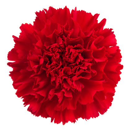 Carnation - Flower「Carnation.」:スマホ壁紙(3)