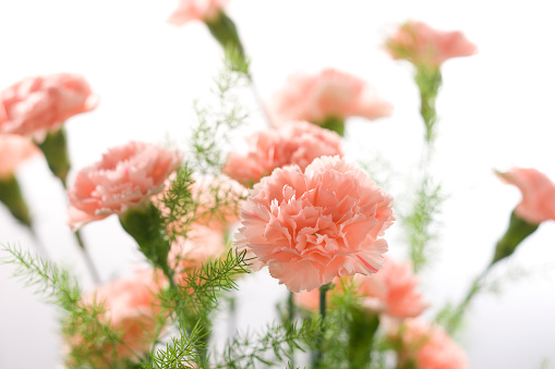 カーネーション「Carnation」:スマホ壁紙(17)