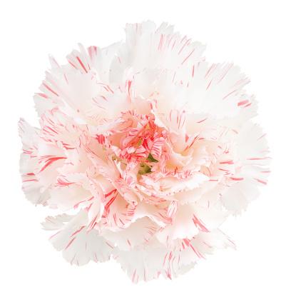 Floral Pattern「Carnation.」:スマホ壁紙(15)