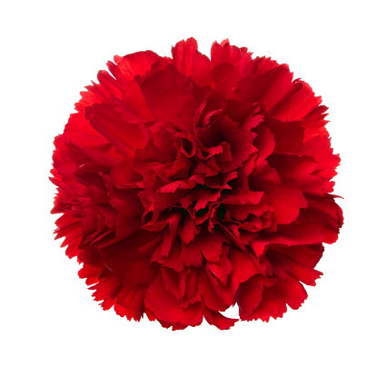 Carnation - Flower「Carnation.」:スマホ壁紙(4)
