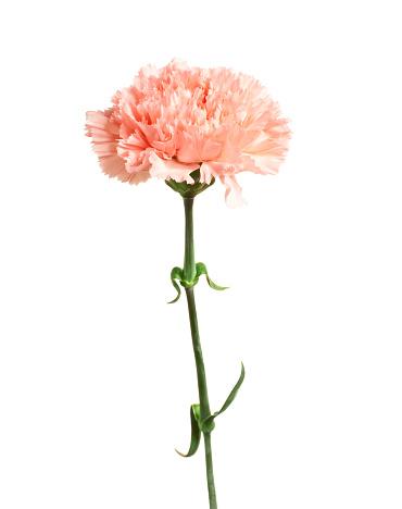Single Object「Carnation.」:スマホ壁紙(14)