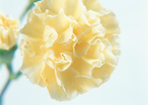 カーネーション「Carnation」:スマホ壁紙(12)