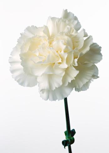 カーネーション「Carnation」:スマホ壁紙(18)