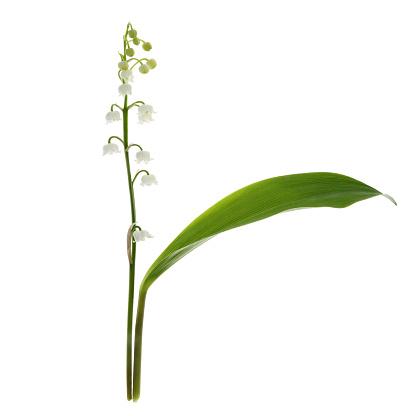 Girly「Single fragrant white Lily-of-the-Valley flower on white」:スマホ壁紙(17)