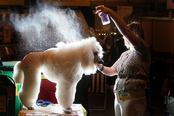 Groom - Human Role「Dogs And Owners Gather For Annual Crufts Dog Show」:写真・画像(3)[壁紙.com]