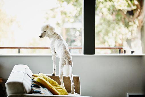 Alertness「Standard poodle standing on couch in living room」:スマホ壁紙(13)