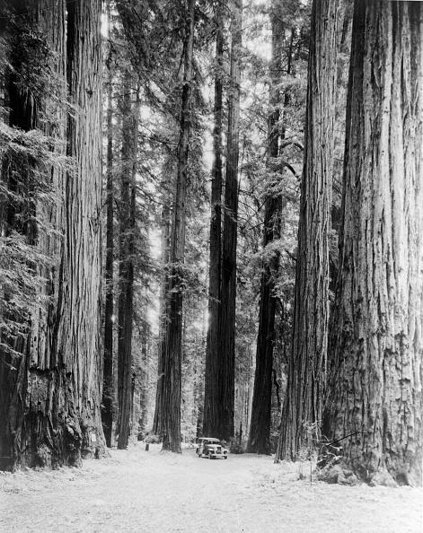 Sequoia Tree「Redwoods」:写真・画像(16)[壁紙.com]