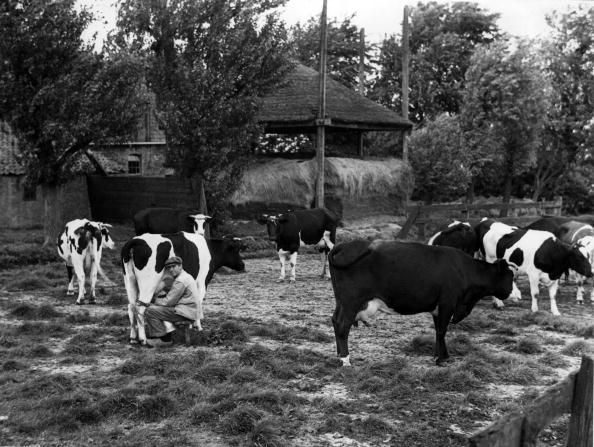 Netherlands「Friesian Cows」:写真・画像(2)[壁紙.com]