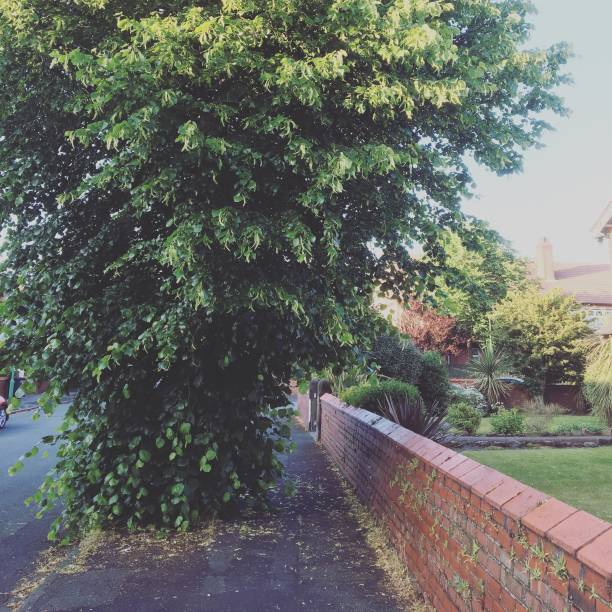 Lime Tree on suburban road:スマホ壁紙(壁紙.com)