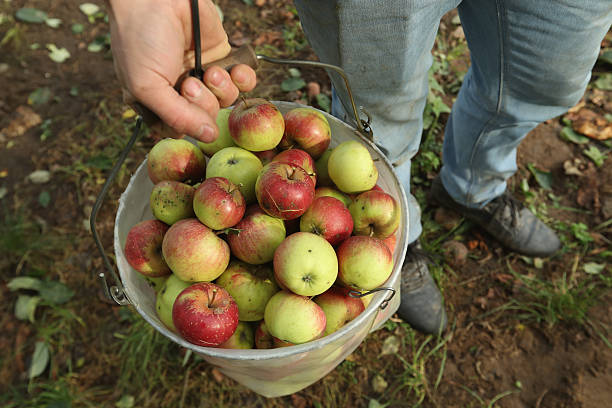 Apple Harvest Underway In Brandenburg:ニュース(壁紙.com)
