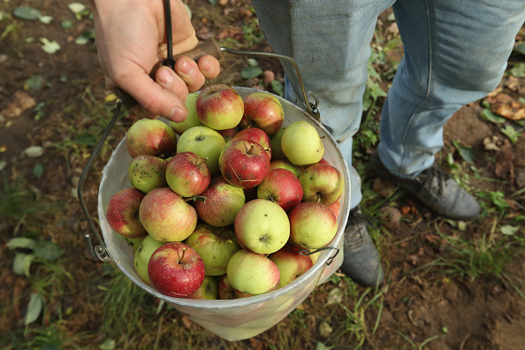 Fruit「Apple Harvest Underway In Brandenburg」:写真・画像(6)[壁紙.com]