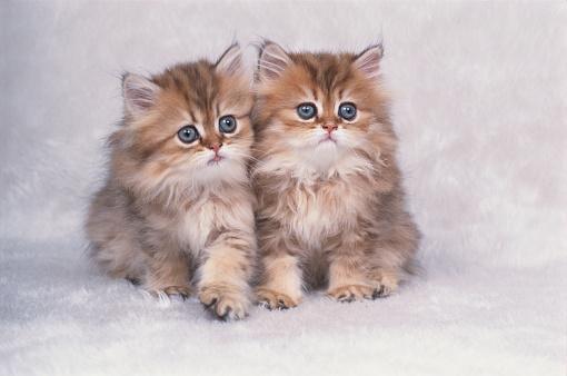 Tradition「Two Persian Kittens」:スマホ壁紙(11)