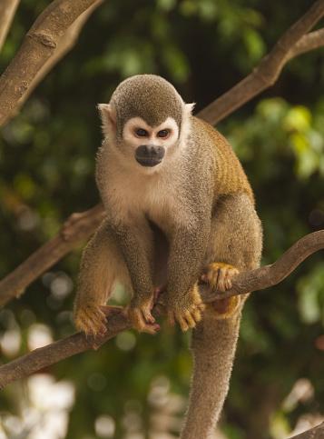 Amazon Rainforest「Capucin monkey in Amazon rainforest tree」:スマホ壁紙(8)