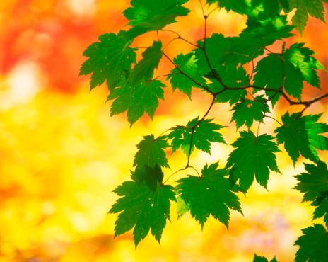 Japanese Maple「Autumn Green Leaves」:スマホ壁紙(14)
