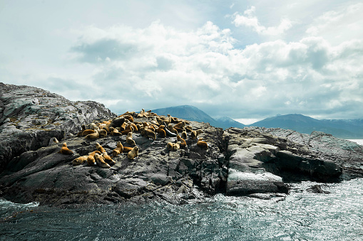 Falkland Islands「Argentina Ushuaia sea lions on island at Beagle Channel」:スマホ壁紙(1)