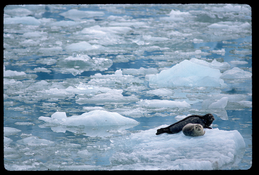 Pack Ice「Harp Seal With Pup on Ice Floe」:スマホ壁紙(0)
