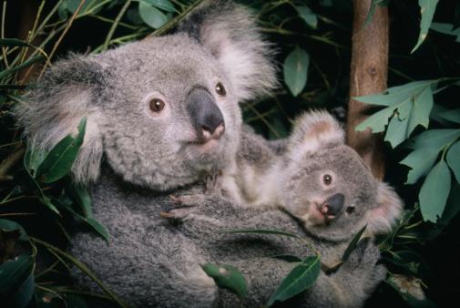 Queensland「Koala and Cub」:スマホ壁紙(6)