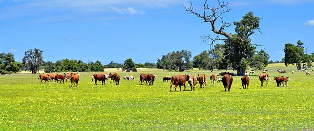 Stallion「Natural Pasturage Ranch, Australia」:スマホ壁紙(12)