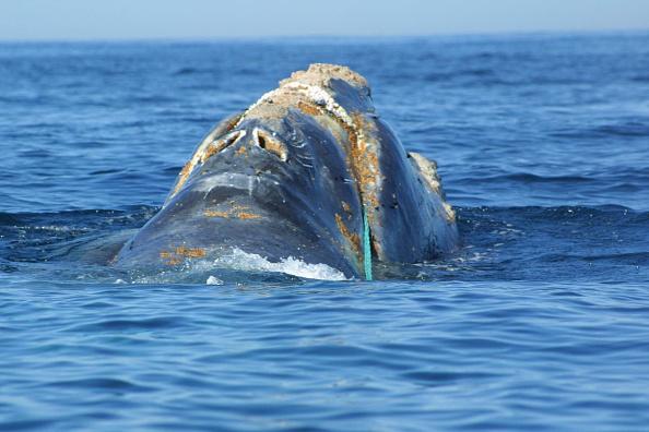 North America「Rescue Attempt Of Rare North Atlantic Whale」:写真・画像(17)[壁紙.com]