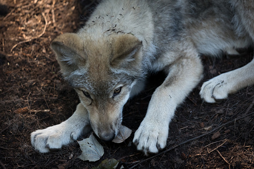 狼「grey wolf pup playing with leaves」:スマホ壁紙(9)