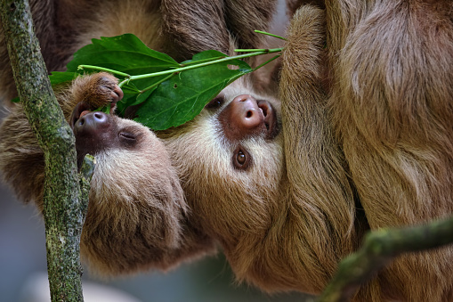 Eating「two-toed sloths」:スマホ壁紙(1)